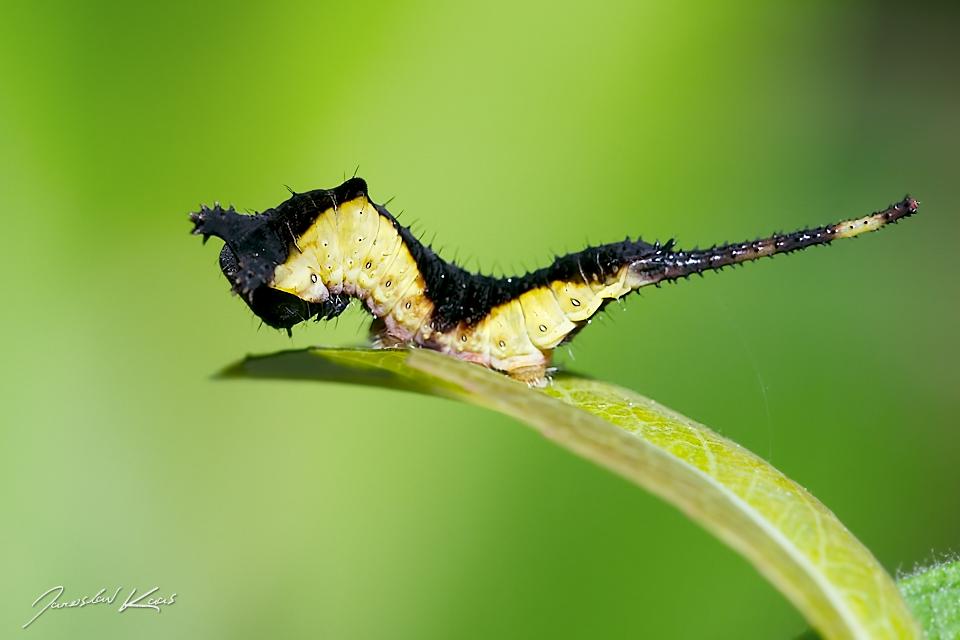 / Cerura vinula - caterpillar / Puss Moth, Staňkov - Krchleby
